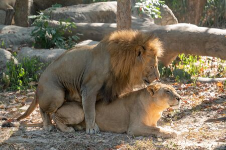 couple of lions having