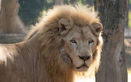 male white lion in captive environment