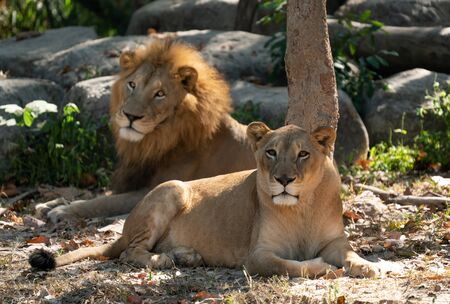 female and male lion resting in captive environment Фото со стока