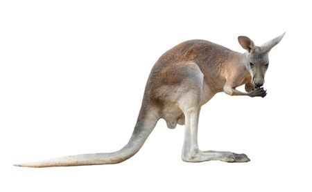 red kangaroo isolated on white background