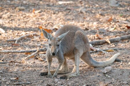 red kangaroo standing in zoo Stock Photo