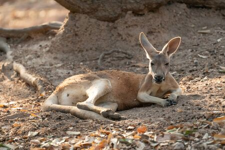 kangaroo lying on the ground