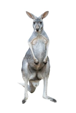 gray kangaroo isolated on white background