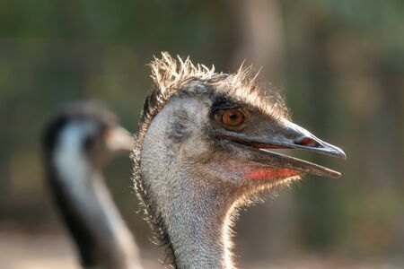 Close up of the head and neck of an emu Stock Photo