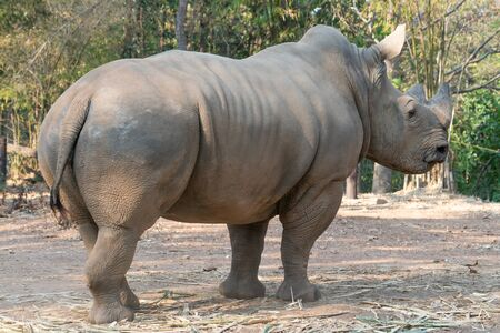 white rhinoceros standing in zoo Stock Photo