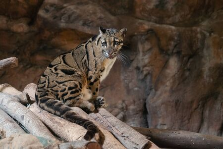 Clouded Leopard close up portrait in zoo Stock Photo