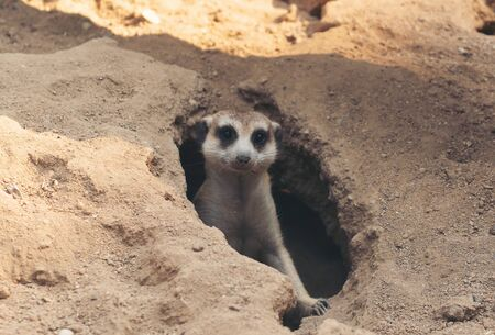 cute meerkat ( Suricata suricatta ) standing at cave entrance