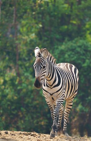 zebra standing alone in zoo Stock Photo