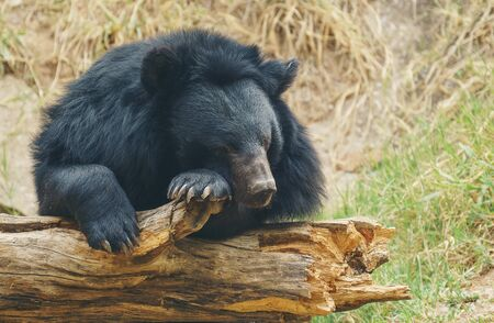 asiatic black bear or moon bear Stock Photo