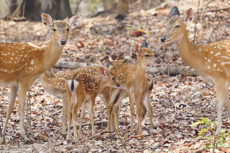 group of female and fawn sika deer Stock Photo