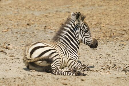 young zebra resting on the ground alone