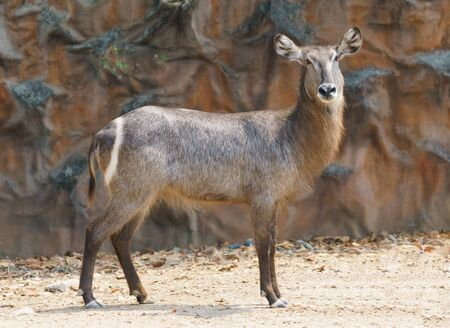 female waterbuck standing alone in zoo
