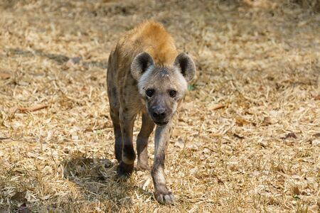 spotted hyena or laughing hyena walking on grass