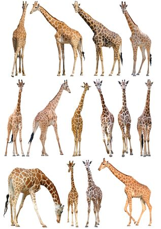 adout and young giraffe isolated on white background