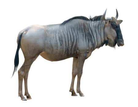 wildebeest or gnu isolated on white background Stock Photo