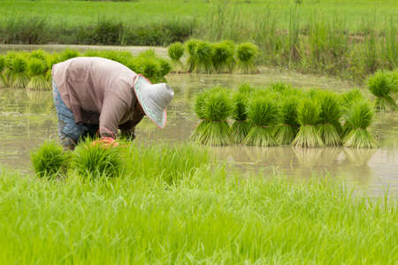 Thai farmer prepare seedling for plant in the paddy