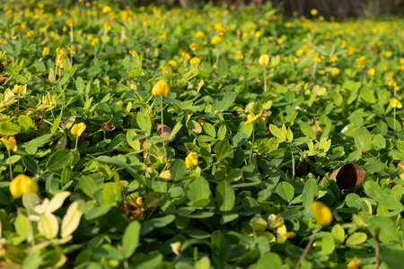 The top view of the Arachis pintoi that is a kind of ground cover During the morning when the sun shines in the growing area Stock Photo