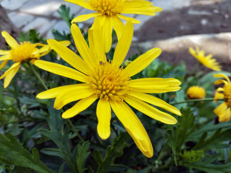Outdoor view of single Euryops pectinatus shrub, also called grey-leaved euryops, in the family Asteraceae. Pattern of yellow, daisy-like composite flowers with silvery green, hairy leaves. Natural picture.