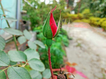 A Beautiful swelling red rose on home garden Stok Fotoğraf