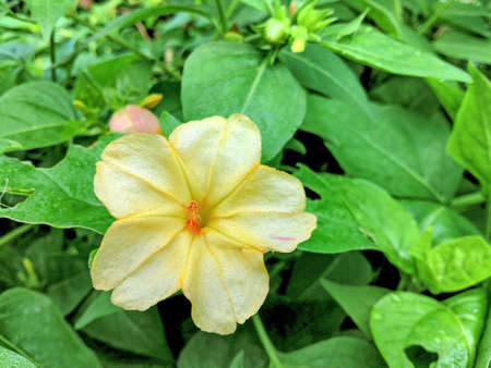 four o clock white and yellow flower on home garden with light color