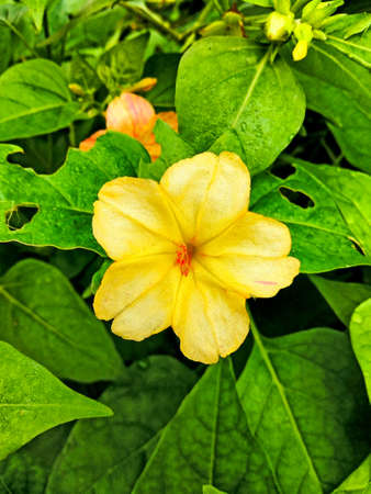 Beautiful four o clock yellow flower on home garden with vibrant color