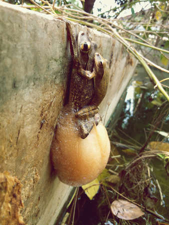 copulation: Common tree frogs are mating and laying eggs Stock Photo