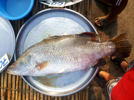 silver perch: Barramundi, Silver perch, White perch,At market, Thailand