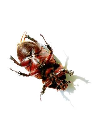 carcass: Beetle karkas