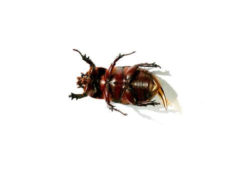 karkas: Beetle carcass