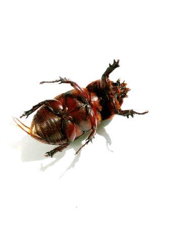 carcass: Beetle carcass