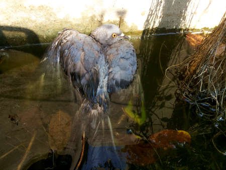 heat wave: The sick pigeon in water,Results of the heat wave in April,Thailand Stock Photo