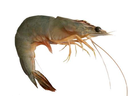 fishy: Banana shrimp,Fenneropenaeus merguiensis,Penaeus merguiensis