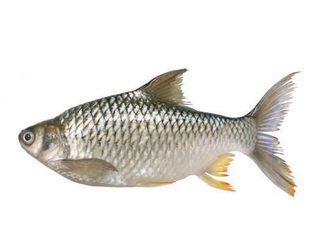 cyprinidae: Java barb, Silver barb, Barbonymus gonionotus, Fish on white background