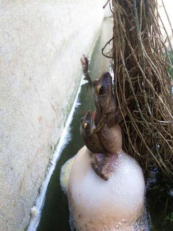 aparato reproductor: ranas comunes son el apareamiento y la puesta de huevos, anfibios en Asia tropical, animal local en Tailandia, el sistema reproductivo de los animales, ranas comunes están reproduciendo
