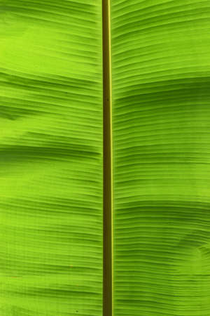 original ecological: Closeup of banana leaf texture abstract background,Green surface with small brown line drawn through the middle vertically.,Texture for add text or graphic design