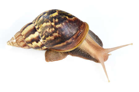 The big brown snail on white background ,Gastropoda Foto de archivo