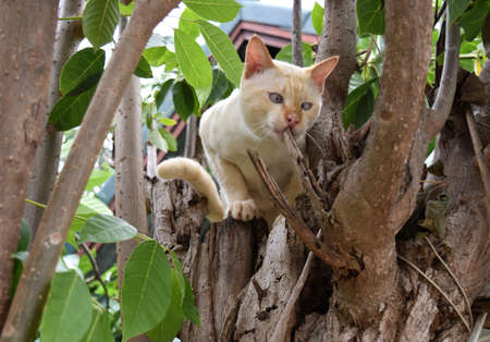 Face very funny of Cream tabby  on a tree bites branch ,Cat strabismus