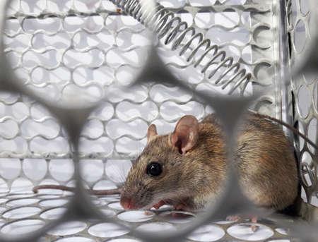Ratte in Käfig-Mausfalle auf weißem Hintergrund, Maus findet einen Ausweg aus dem Eingesperrtsein, Fangen und Entfernen von Nagetieren, die Schmutz verursachen und Krankheitsüberträger sein können, Mäuse versuchen, Freiheit zu finden Standard-Bild