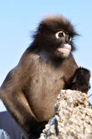Dusky leaf monkey on Mountain with blue sky in background, Spectacled langur, Thailand