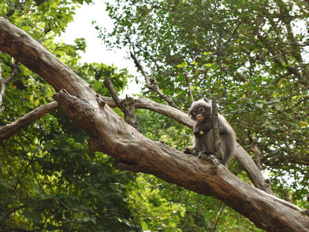 Dusky leaf monkey on tree in forest, Spectacled langur in Thailand