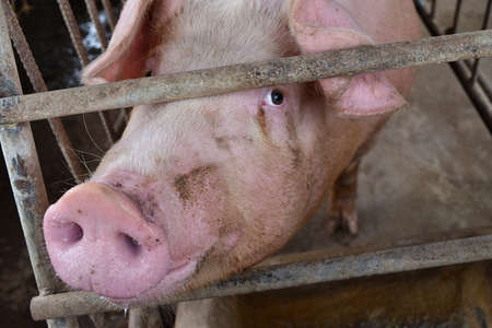 The Pink Pig in a cage, The eyes of animal filled with feeling and intelligence, Farm animals in Thailand Stock Photo