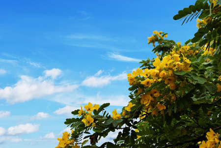 Bush green leaves filled with many bright yellow flowers of Caesalpinioideae tree , Beautiful blue sky and white cloud, Tropical tree in Thailand