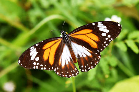 Black Veined Tiger, Danaus melanippus, Patterned orange white and black color on the spreading wing, The butterfly seeking nectar on flower in the field with natural green background, Thailand
