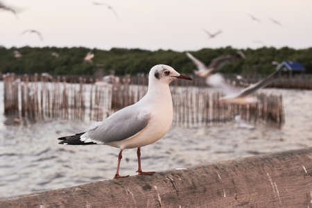 Seagull standing on concrete bridge at Bang Poo Recreational Retreat , Migratory birds in winter, Many seagulls flying , Beautiful tourist attractions, Thailand Imagens