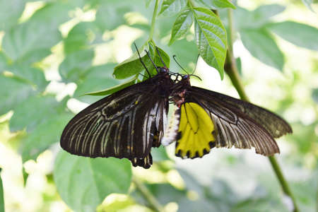 Troides aeacus or The Golden Birdwing butterfly, Yellow and gray striped spotted on black wings of colorful tropical insects, Butterflies are mating on tree with natural green background, Thailand