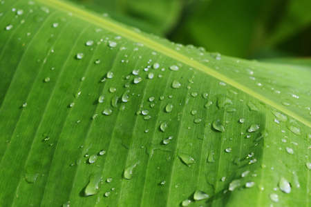 Water drops on green banana leaf, Texture for add text or graphic design , Freshness of plants after rain fall