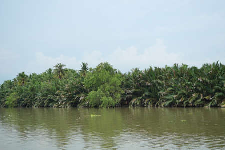 Simply nipa or mangrove palm trees on the bank of the river with blue sky in background