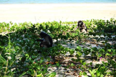 Dusky leaf monkey ( Spectacled langur ) sitting and eating leaf of Goat's Foot Creeper tree on the beach, Khao Sam Roi Yot National Park , Thailand