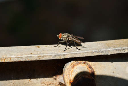 Cluster fly with natural black background, Tropical insect with large orange color eye Stock Photo
