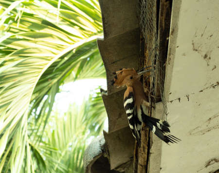 Male bird pecking insect for female bird to eat in the nest, Feeding in nature, The hiding of wildlife in the human society, The Eurasian Hoopoe or Common hoopoe (Upupa epops) under the house roof